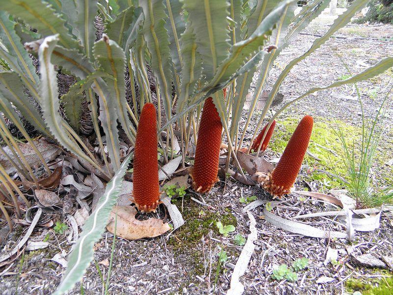 Banksia petiolaris