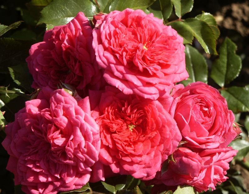 Climbing Rose Plants Hybrid Tea Roses
