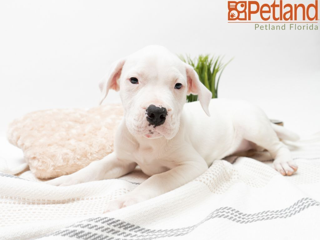 Petland Florida Has Dogo Argentino Puppies For Sale Check Out All Our Available Puppies Dogoargentino Petlandke Puppy Friends Dog Lovers Puppies For Sale