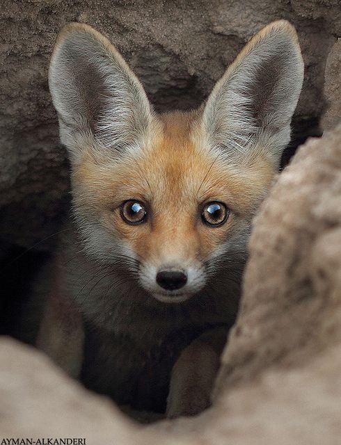 fox by AYMAN-ALKANDERI, via Flickr