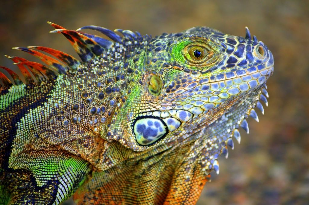 Colorful Lizards   Colourful Lizard   scales and balances ... - photo#45