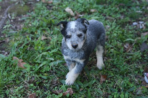 Litter Of 6 Blue Healer Border Collie Mix Puppies For Sale In Centerville Tn Adn 54 Cattle Dog Australian Cattle Dog Border Collie Border Collie Mix Puppies