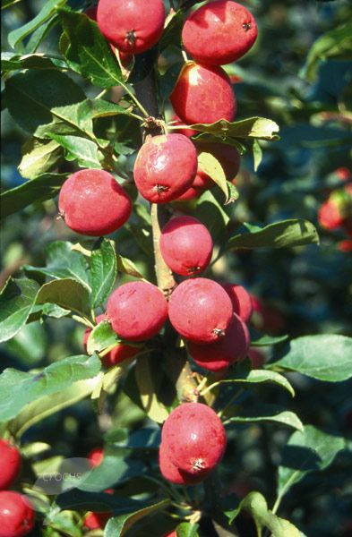 Buy Crab Apple Malus Pink Glow Small Trees For Garden Apple Flowers Crab Apple