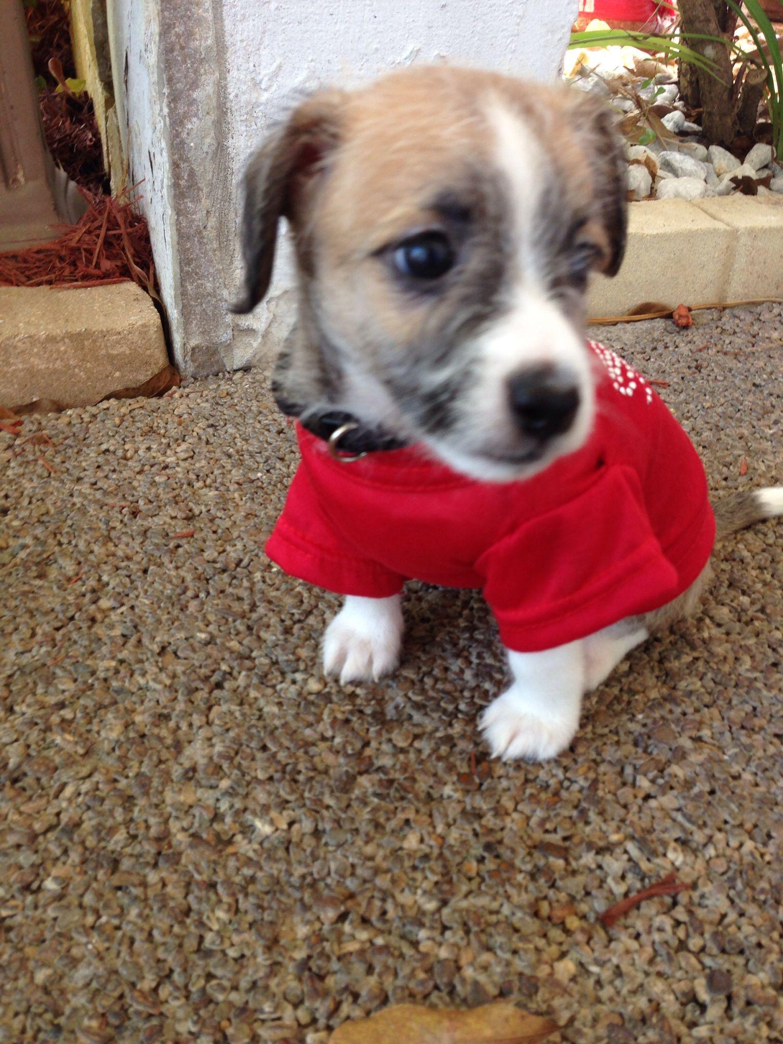 Meet Chandler Shih Tzu Italian Greyhound Mix Italian Greyhound Shih Tzu Puppy Love