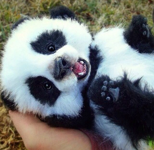 Susses Pandababy Susse Baby Tiere Susseste Haustiere Susse Tiere