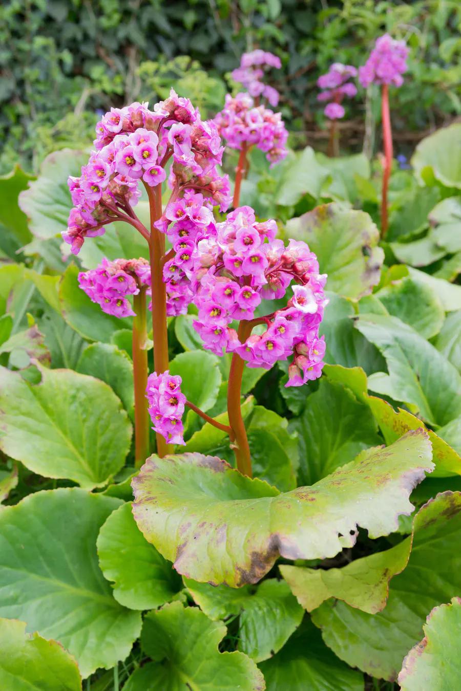 Les bergénias : notre sélection des plus précoces | Idées jardin, Arbustes  à fleurs, Plante jardin