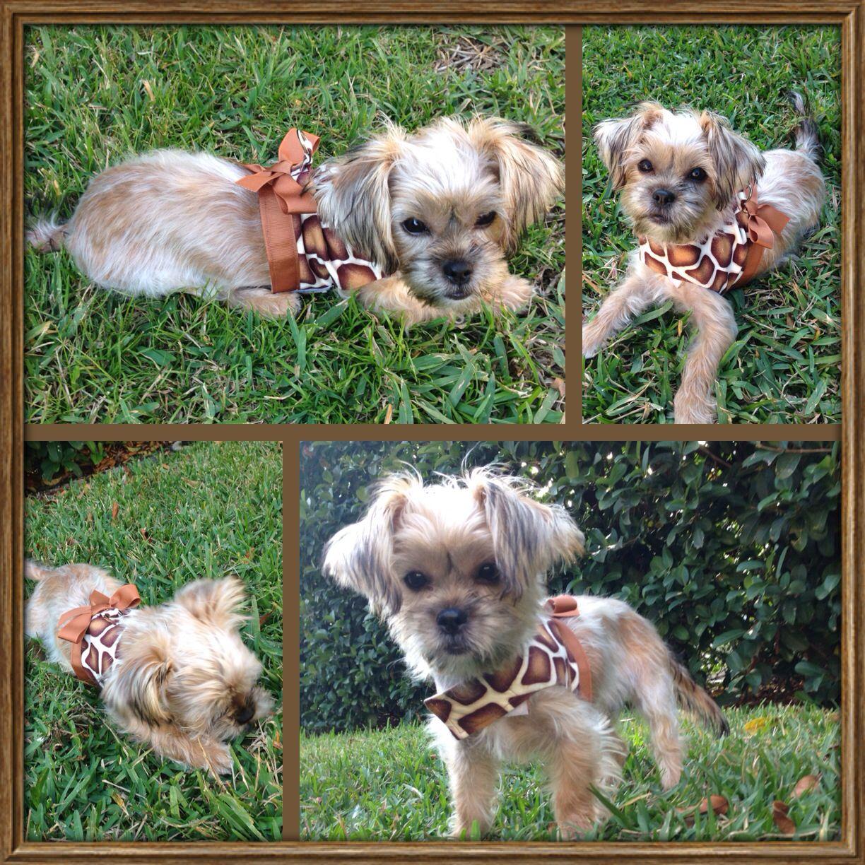 Lucy Shorkie Puppy 4 Months Old Shorkie Puppies Animals Puppies