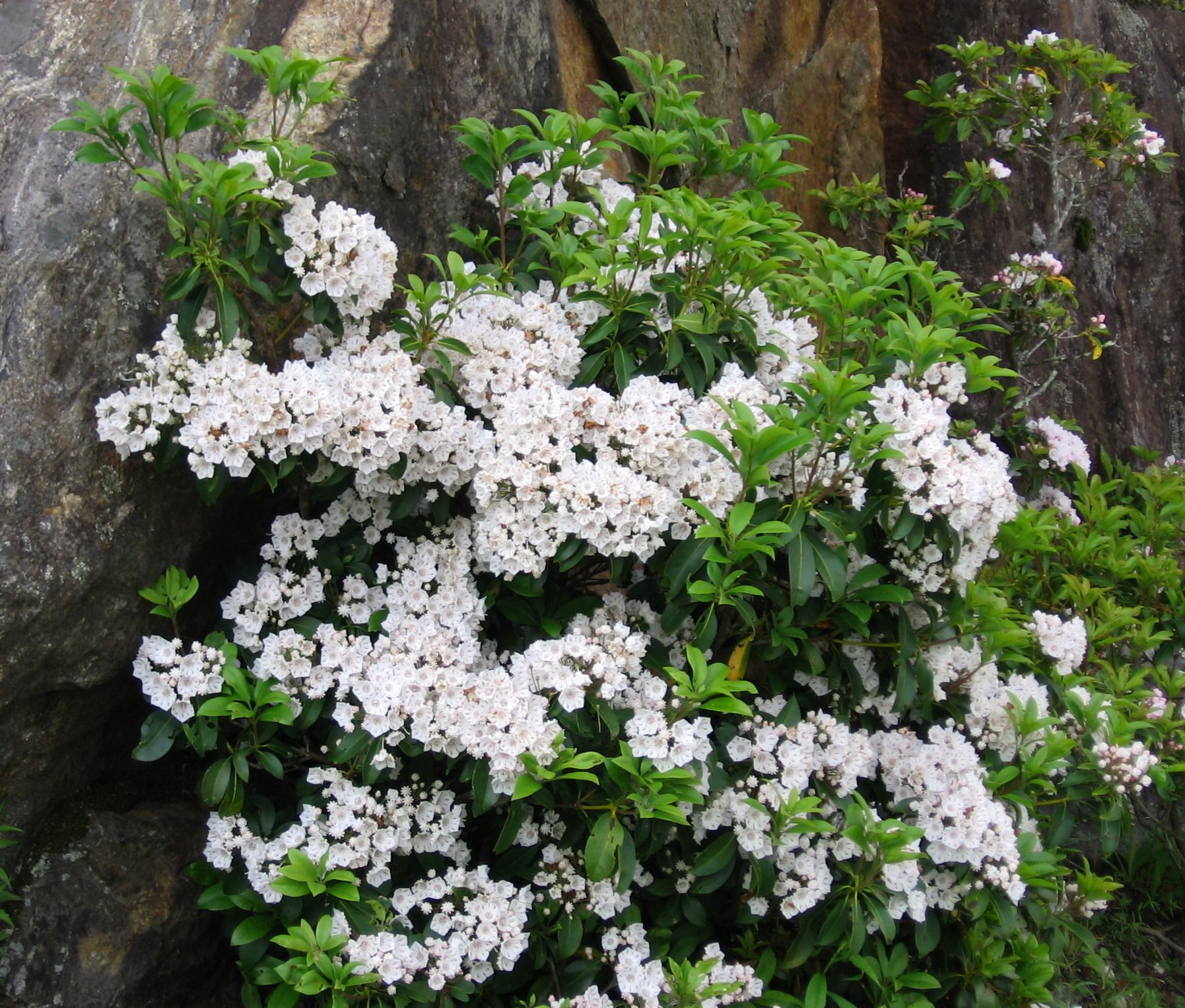 Dwarf mountain laurel shrub google search front yard kalmia latifolia privacy landscaping diy deck evergreen shrubs dry creek small trees garden projects garden ideas native plants dhlflorist Image collections