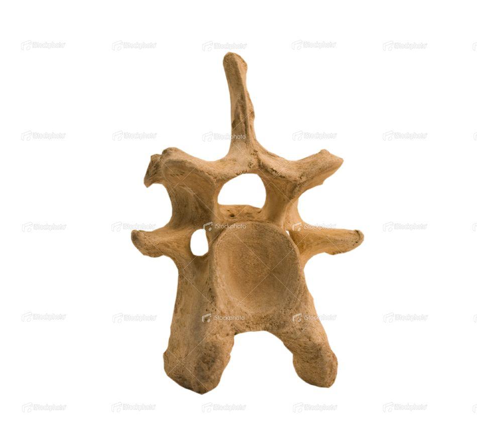 cow vertebrae