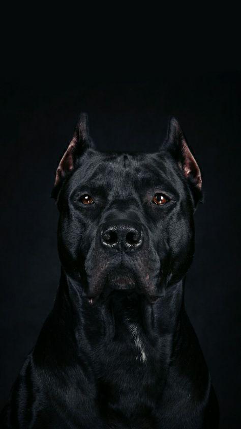 Cane Corso Corso Dog Cane Corso Dog