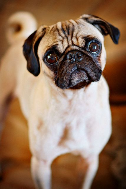 Known In Ancient China As Lo Sze Pugs May Have Been Responsible