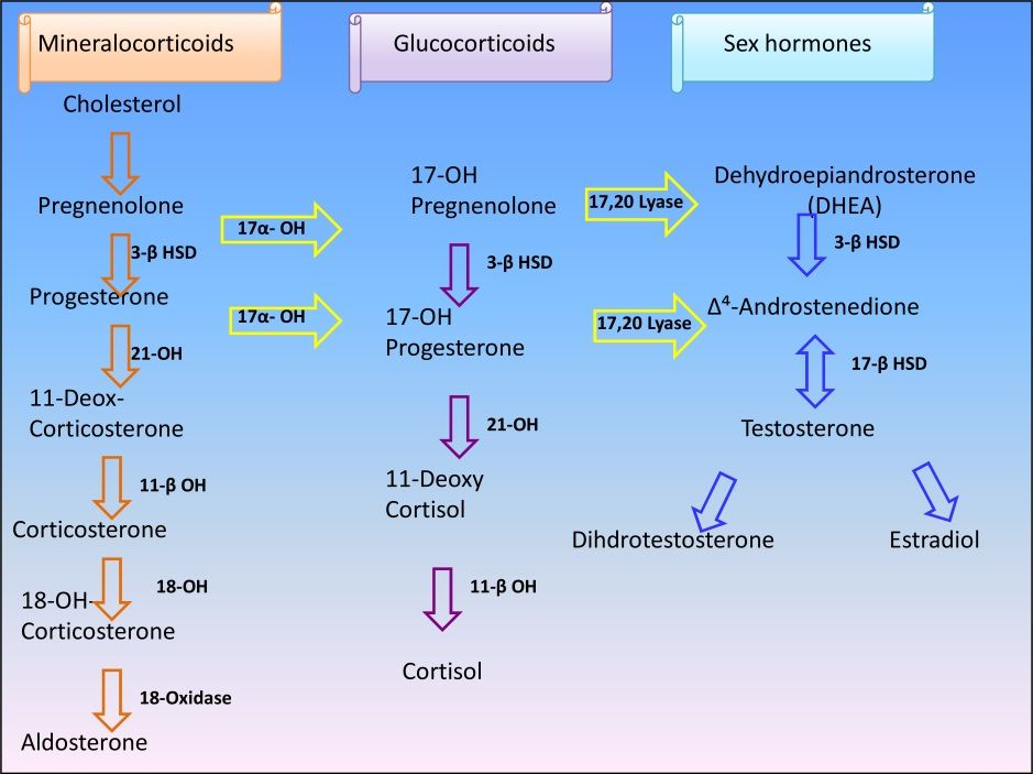 Adrenal Gland Hormone Synthesis Pathway Learn How To Lower