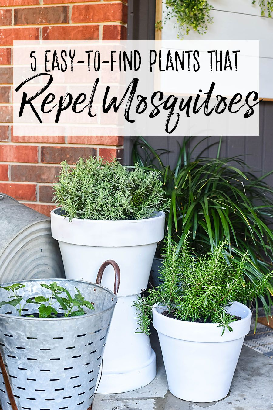 5 Plants That Repel Mosquitoes for Your Front Porch is part of Mosquito repelling plants, Porch plants, Plants, Front porch plants, Front porch garden, Mosquito plants - We've compiled a list of mosquito repelling plants  These plants will repel insect and pest like mosquitos with their natural fragrances, leaving a pleasant smell in your garden this summer  Every summer a word becomes a new curse word in my family   MOSQUITOES! Not only are these nasty little bugs disease carrying and annoying, our whole family (except for my somehow naturally repellent husband)