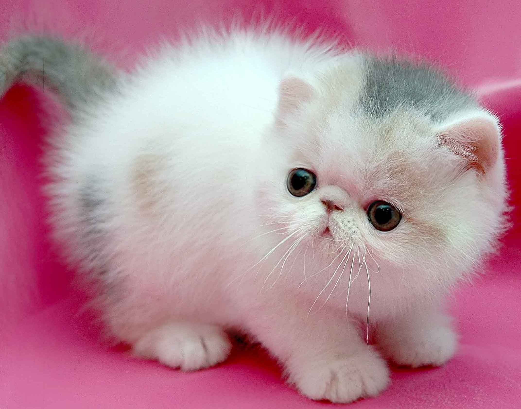 Persian Cat Personality and How to Care for Your