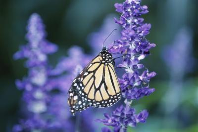 Transplanting Or Moving Lavender Plants