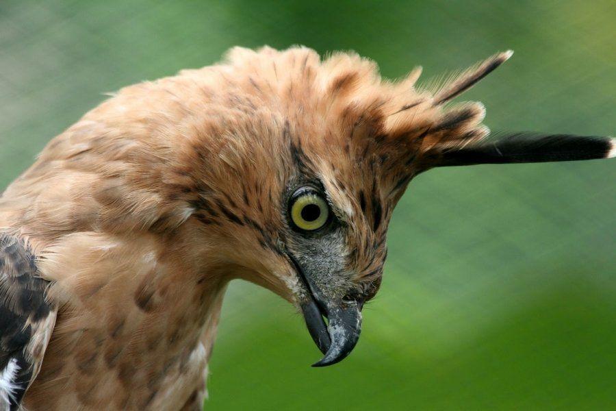 20 Jenis Burung Langka Di Indonesia Lengkap Dengan Gambar Adler