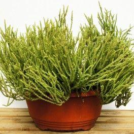Crassula Muscosa Minor Greenery Succulents Indoor Plants