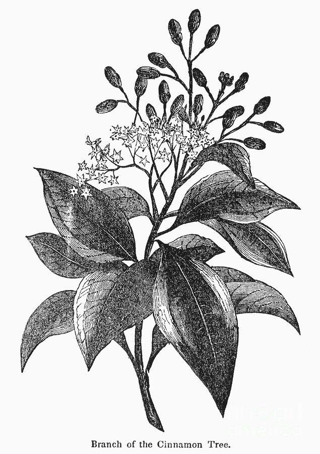 Canela Prints Drawings Plants