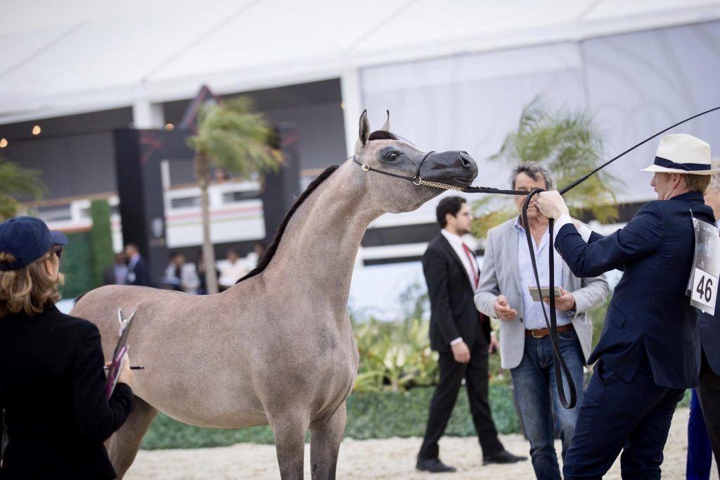 الأريام بنفسج الأجمل في افتتاح دولية الشراع 2020 و دبي يتصدر ثلاث فئات Horses Arabian Horse Arabians