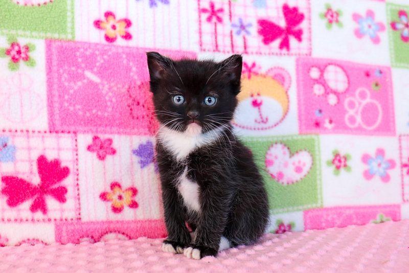 Ragdoll Kittens For Sale Near Me Buy Ragdoll Kitten In 2020 Ragdoll Kittens For Sale Baby Cats Kitten For Sale