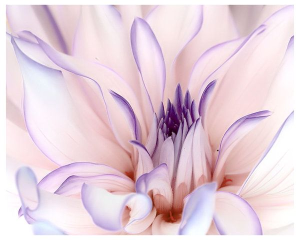 Dahlia Candy 2 by TruemarkPhotography (print image)
