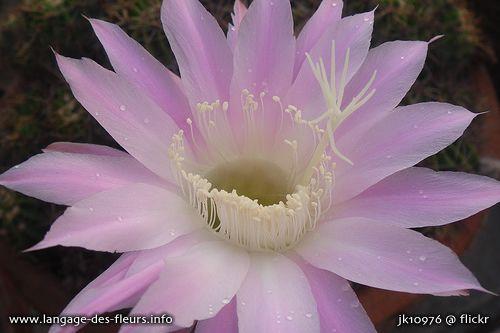 Dans Le Secret Des Fleurs La Fleur De Cactus Symbolise L Amour