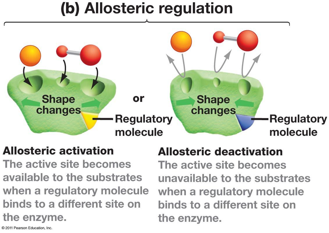 Allosteric Regulation Allosteric Regulation Biology Enzymes Activity