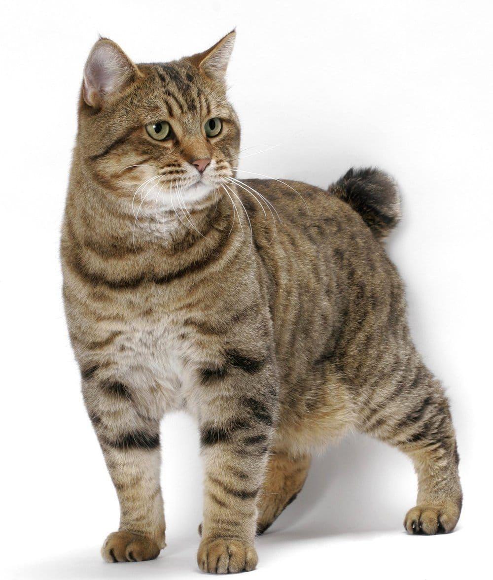 Bobcats Bobtail Cat American Bobtail Cat Cat Breeds