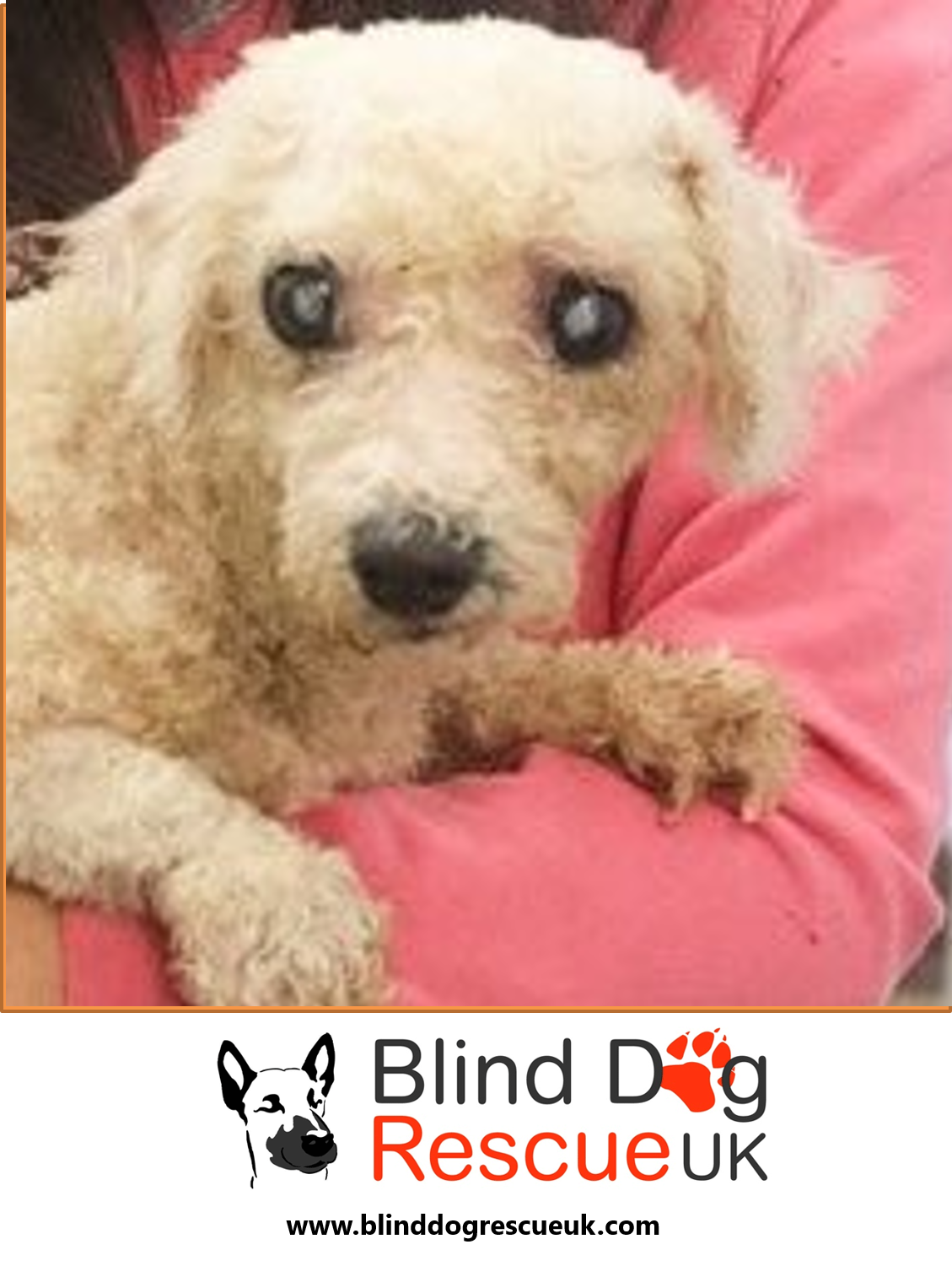 Rainbow Needs Some Love In Her Life She Was Used As A Breeding Dog So Has Never Known Home Life Rainbow Is A Bichon Frise Ple Blind Dog Dog Rescue Uk