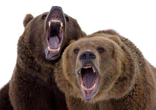 scary bear - Google Search | Bears | Pinterest | Scary