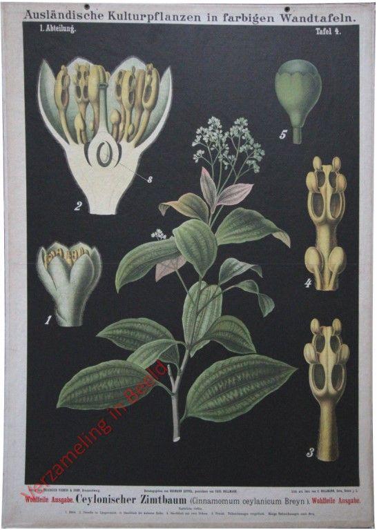 I Abteilung 5 Ceylonischer Zimtbaum Pflanzenzeichnung Botanische Abbildungen Botanische Illustration