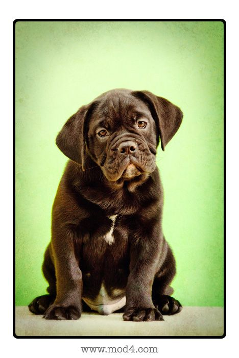 Black Lab English Bulldog Mix I Want One My Neighbors Have A