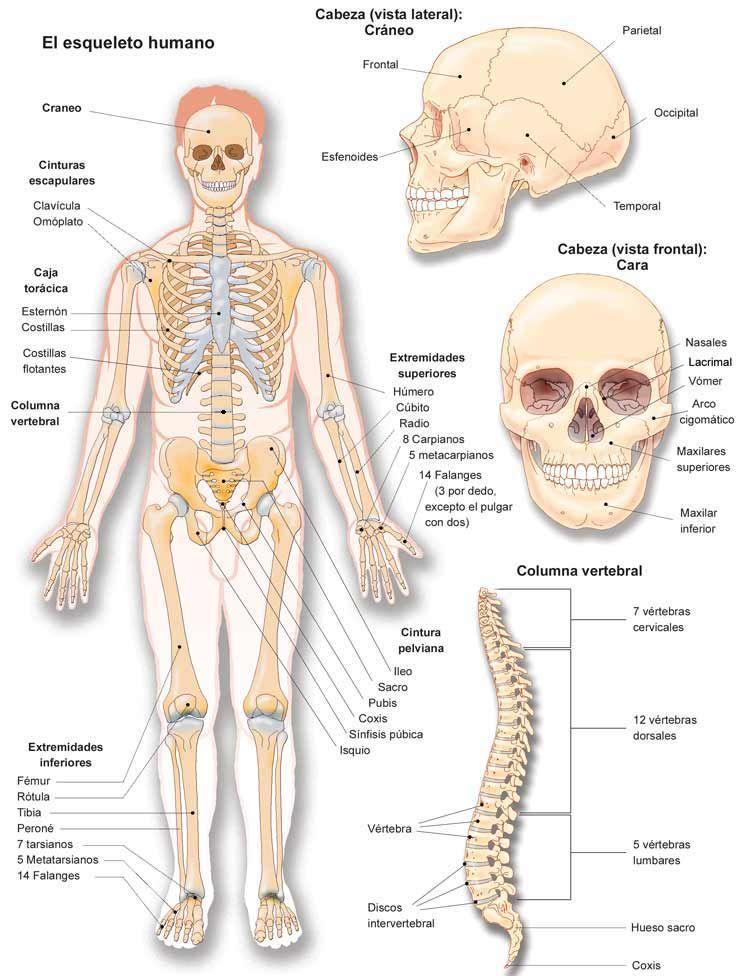 Anatomia de l\'aparell locomotor | l\'esquelet | Pinterest | Anatomía ...