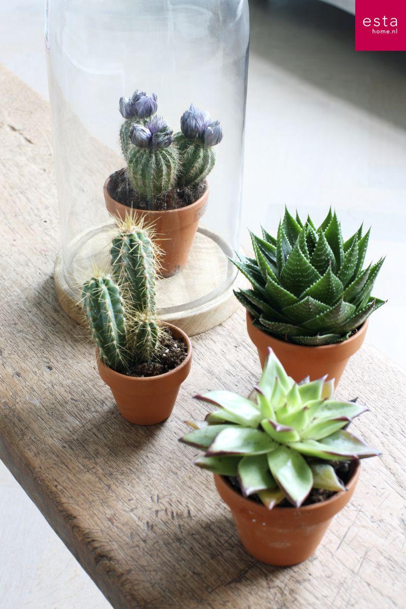 cactussen collectie Marrakech ESTAhome.nl