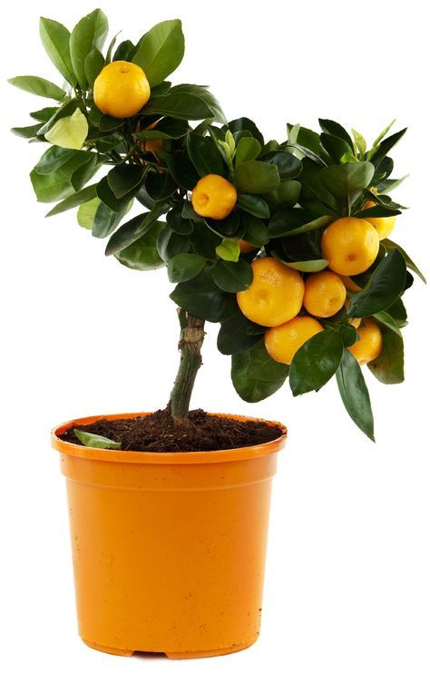 Orange Tree Container Care Can You Grow Oranges In A Pot Fruit Trees In Containers Fruit Plants Potted Trees
