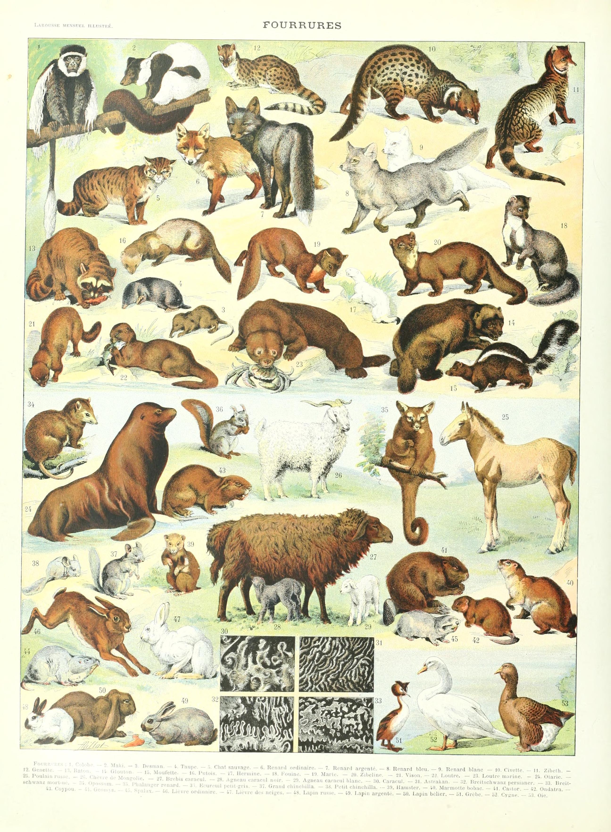 Larousse Mensuel Illustre 1907 1920 Planche Fourrures Art