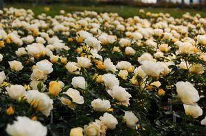 Rosa Landscape/Shrub (Popcorn Drift)