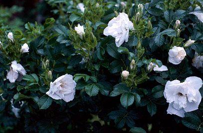 Rose Blanche Double De Coubert White Plants Flower Garden Plants Planting Flowers