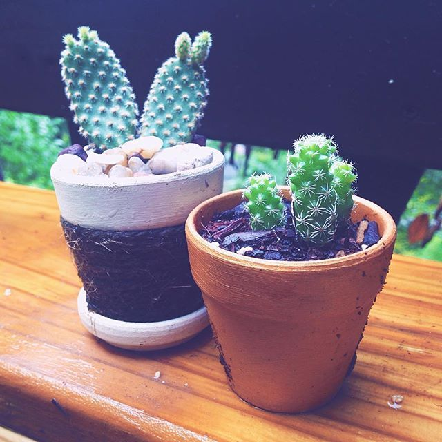 Cactus cuttings. Tiny pots painted gold. Bunny ears. Succulent garden love happening all around.