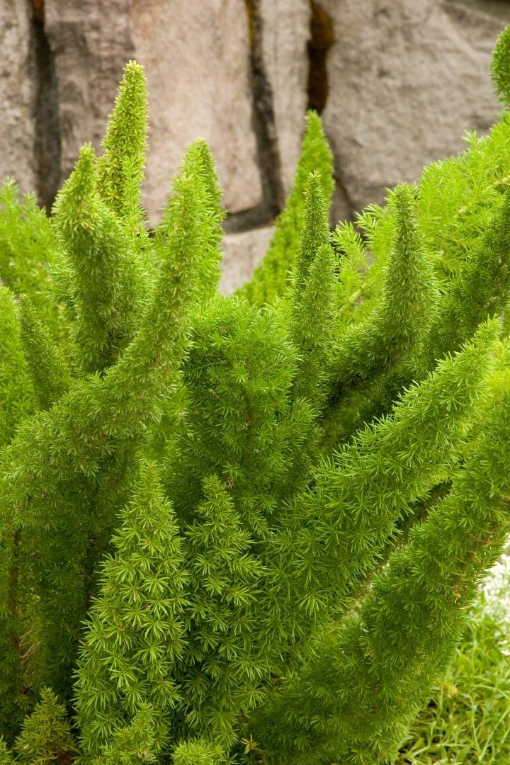 Foxtail Fern Asparagus Densiflorus Myers Hardiness 400 x 300