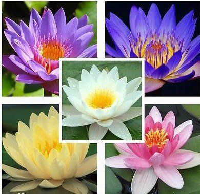 7 Seeds Aquatic Water Lily Mixed Colors Lotus Plant To