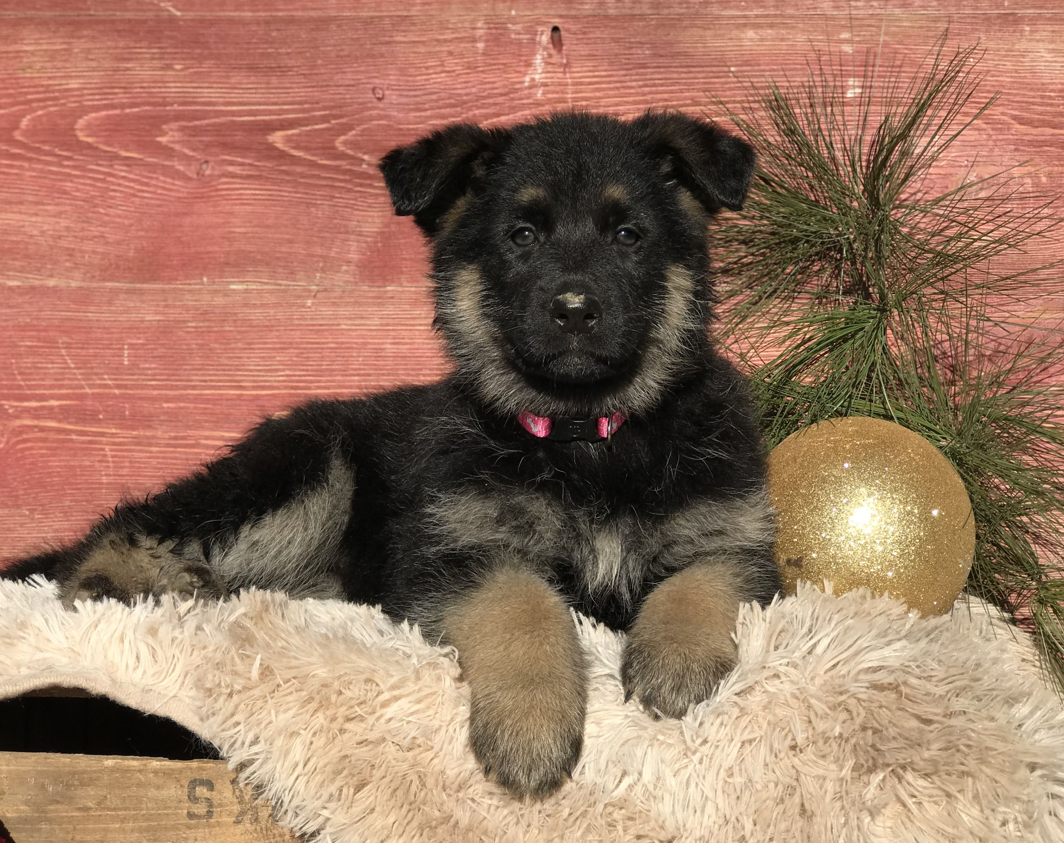 German Shepherd Puppies for Sale in 2020 Puppies