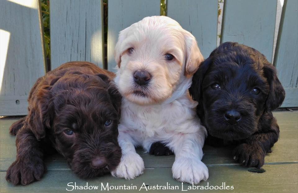 Australian Labradoodle Puppies Australian labradoodle