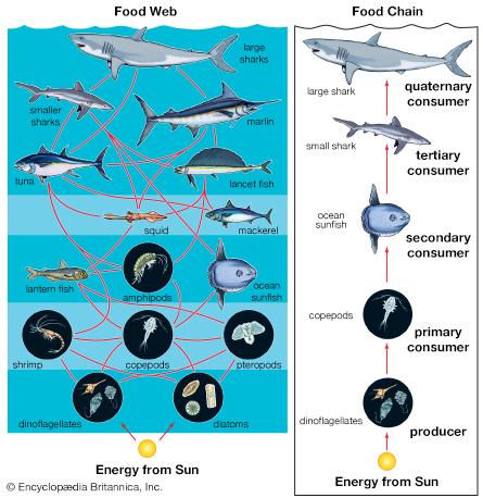 aquatic ocean food web producers consumers autotrophs
