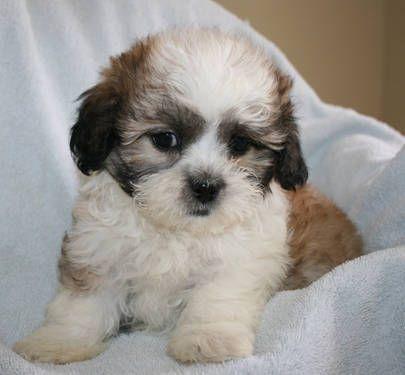 Shichon Puppies Shihtzu X Bichon Frise Preciousness Pinterest