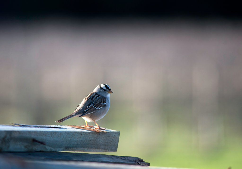 Hendry Vineyard Life 3: Sparrows - here a White-Crowned - are everywhere in winter.#hendryvineyardlife