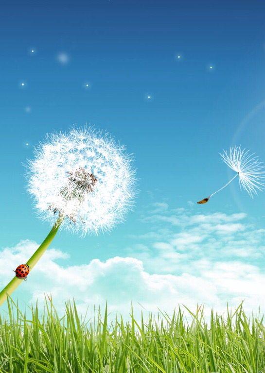 Dandelion wish outside wallpaper background grass iPhone   M o b i l e   Proverbs, Dandelion ...