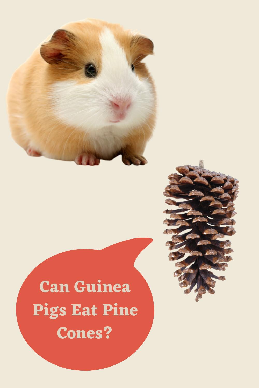 Pin On Spot Guinea Pig