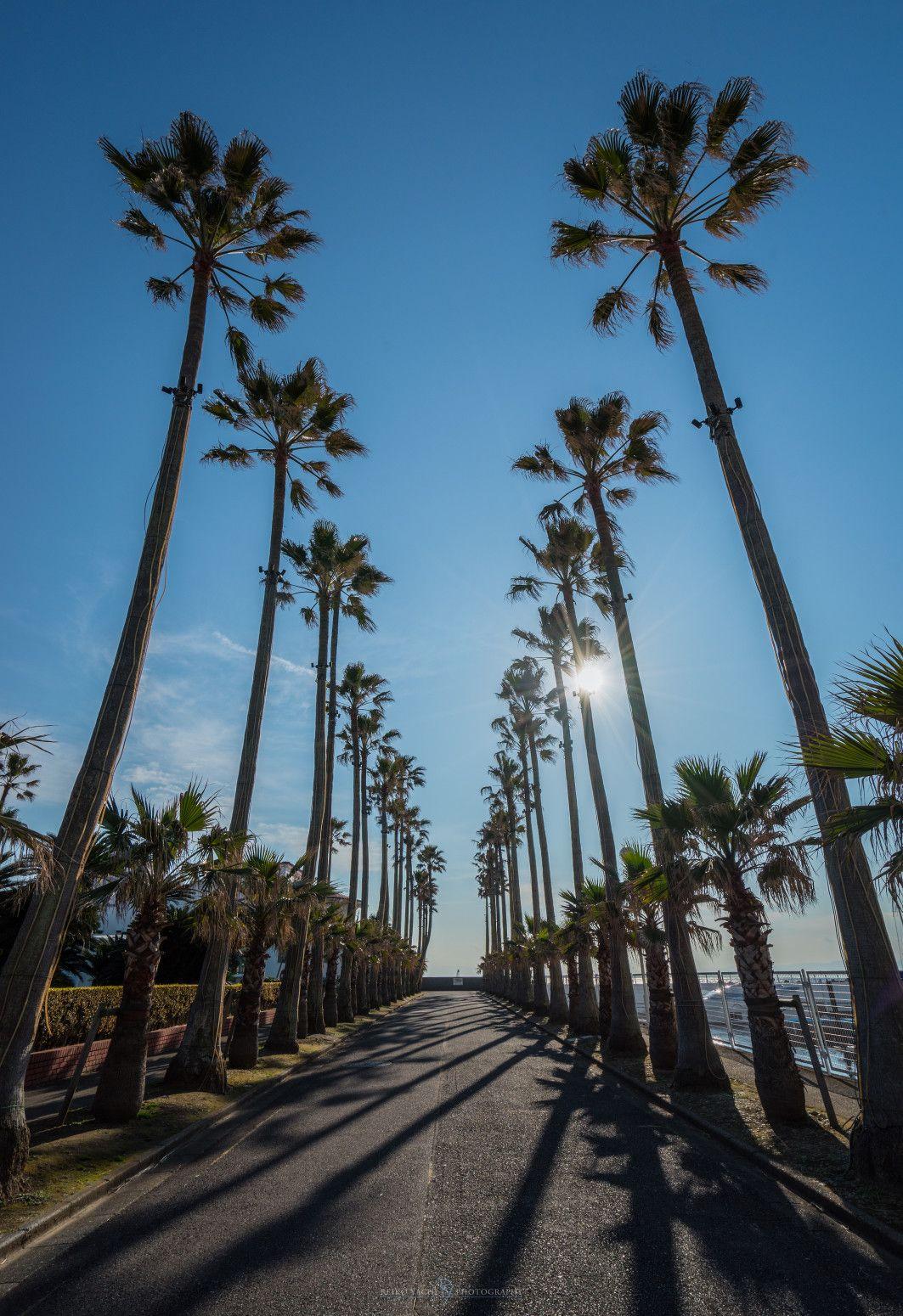 Zushi,shi, kanagawa,ken, Japanで撮影された逗子マリーナの写真 Palm Tree  パシャデリック