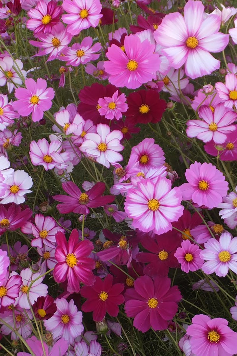 Cosmos In 2020 Flower Landscape Cosmos Flowers Meadow Photography